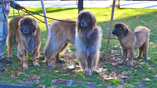 EAC_1421 - Version 22012-12-28--Leonberger-puppy-adult-© 2011 Penny Cherubino