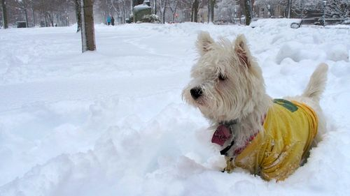 IMG_1137 - Version 22013-03-08-snow-scenes-boston-poppy-westie-© 2011 Penny Cherubino