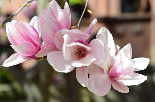 CHE_5753 - Version 22013-04-17-boston-backbay-magnolias-© 2011 Penny Cherubino