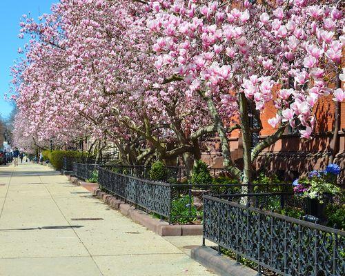 DSC_3389 - Version 22013-04-17-boston-backbay-magnolias-© 2011 Penny Cherubino