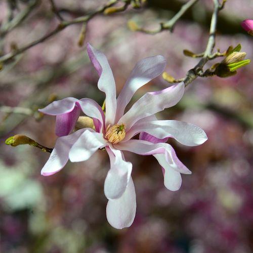 CHE_5801 - Version 22013-04-17-boston-backbay-magnolias-© 2011 Penny Cherubino