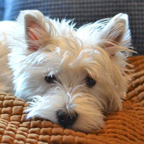 DSC_3448 - Version 22013-04-19-poppy-westie-year old-© 2011 Penny Cherubino