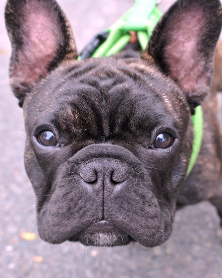 DSC_8598 - Version 22012-09-26-Ollie-french-bulldog-puppy-5 months- waiting-© 2011 Penny Cherubino