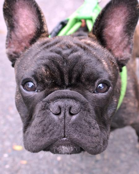 DSC_8598 - Version 22012-09-26-Ollie-french-bulldog-puppy-5 months- waiting-© 2011 Penny Cherubino