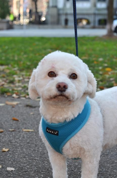 DSC_0439 - Version 22012-11-22-Ruby-bichon-poodle-mix-rescue-© 2011 Penny Cherubino