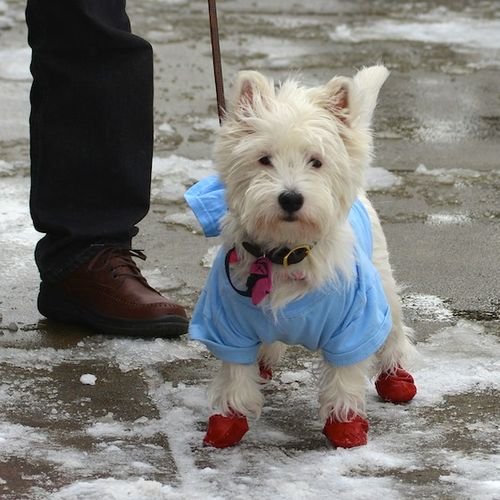 CHE_0082 - Version 22012-12-30-poppy-westie-snow-fun-salt-danger-boots© 2011 Penny Cherubino