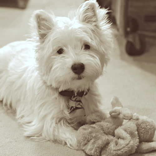 CHE_0796 - Version 32013-01-09-poppy-westie-dog-words-© 2011 Penny Cherubino (1)