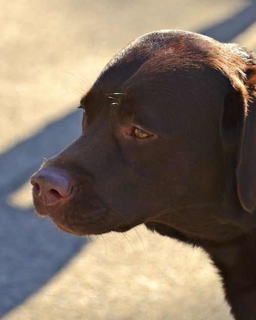CHE_1354 - Version 22013-01-20-oliver-chocolate-lab-© 2011 Penny Cherubino