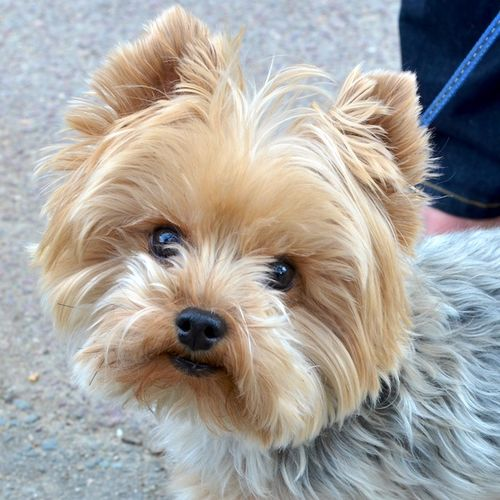 DSC_3022 - Version 22013-04-07-dooley-silky-terrier-boston-© 2011 Penny Cherubino