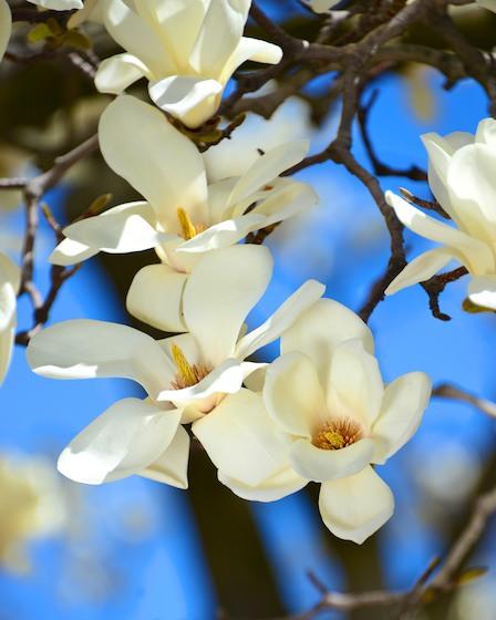 CHE_5817 - Version 22013-04-17-boston-backbay-magnolias-© 2011 Penny Cherubino