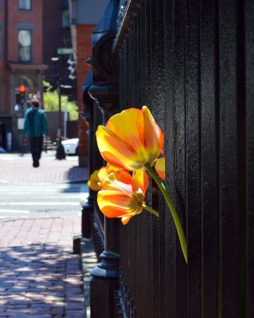 DSC_3733 - Version 22013-05-02-south-end-boston-tulips-© 2011 Penny Cherubino