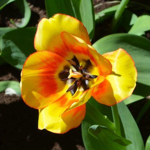 DSC_3722 - Version 22013-05-02-south-end-boston-tulips-© 2011 Penny Cherubino