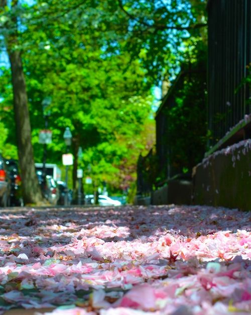 -petals-trees-stping-back-bay-boston- (3)