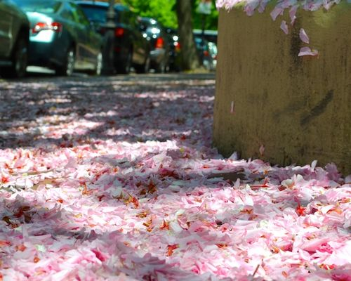 -petals-trees-stping-back-bay-boston-