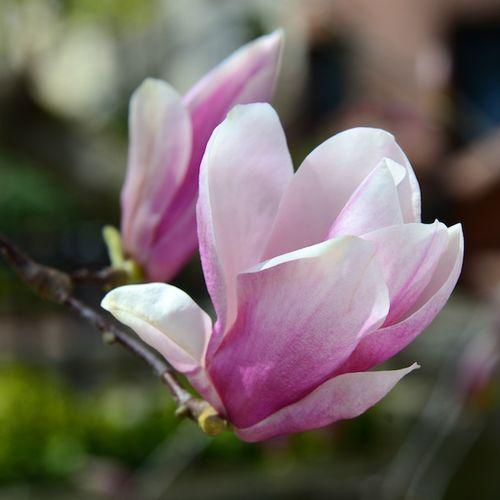 CHE_5656 - Version 22013-04-15-boston-backbay-magnolias-© 2011 Penny Cherubino