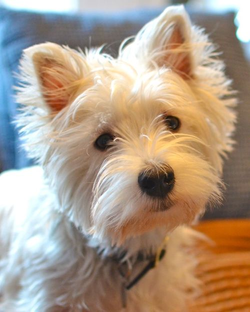 DSC_3457 - Version 22013-04-19-poppy-westie-year old-© 2011 Penny Cherubino