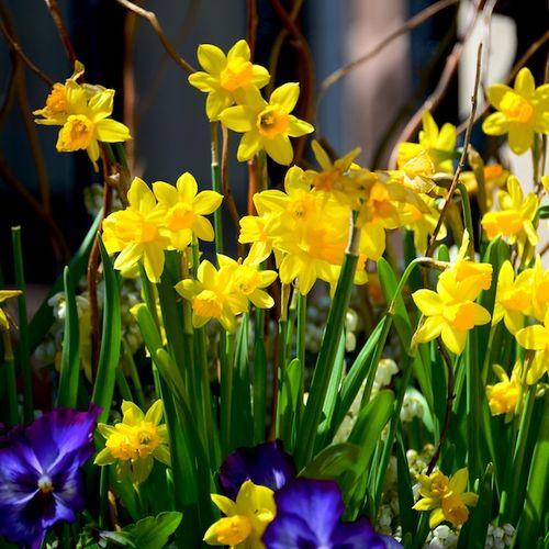 CHE_6473 - Version 22013-04-27-Narcissus- yellow-jonquils-© 2011 Penny Cherubino