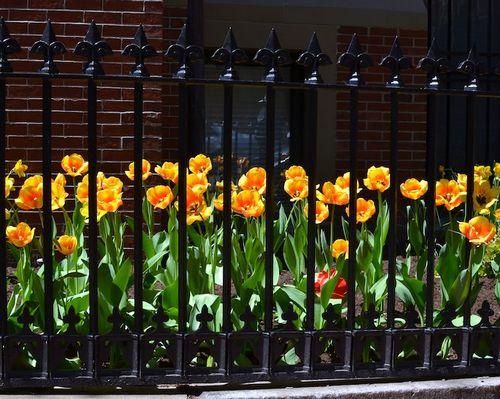 DSC_3721 - Version 22013-05-02-south-end-boston-tulips-© 2011 Penny Cherubino