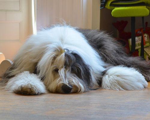DSC_5182 - Version 22013-06-06-abbie-old-english-sheepdog-pawsh-boston-© 2011 Penny Cherubino