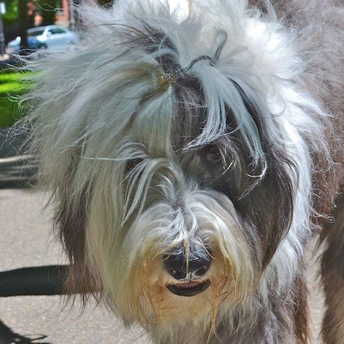 DSC_5316 - Version 22013-06-15-abbie-old-english-sheepdog-pawsh-boston-© 2011 Penny Cherubino