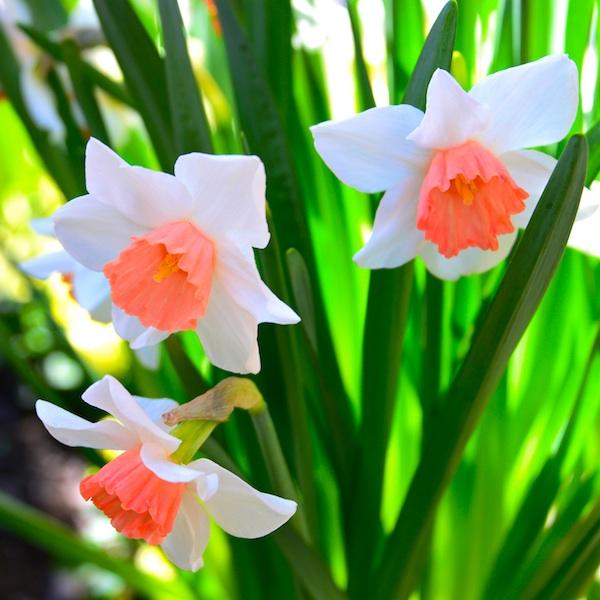 CHE_6285 - Version 22013-04-27-Narcissus- salmon- center-© 2011 Penny Cherubino
