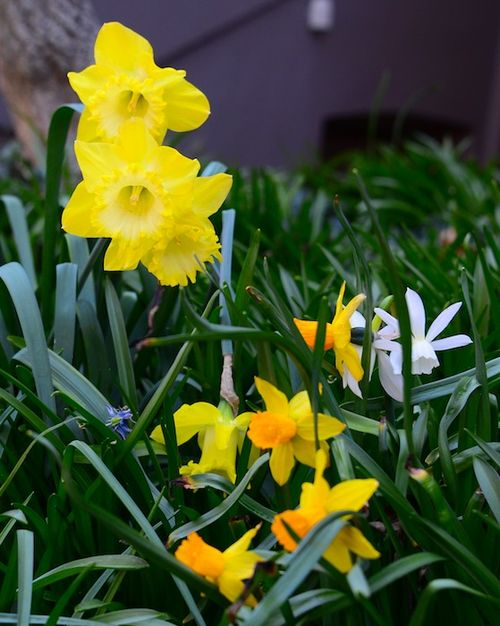 CHE_6345 - Version 22013-04-27-Narcissus- yellow-jonquils-© 2011 Penny Cherubino