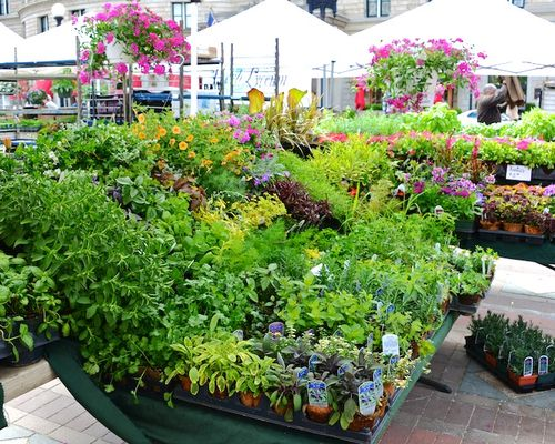 -stillmans-annuals-herbs-plants-starters-