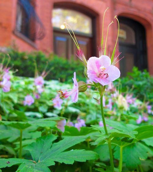 IMG_6350 - Version 22013-06-01- geranium-generous-gardeners-© 2011 Penny Cherubino