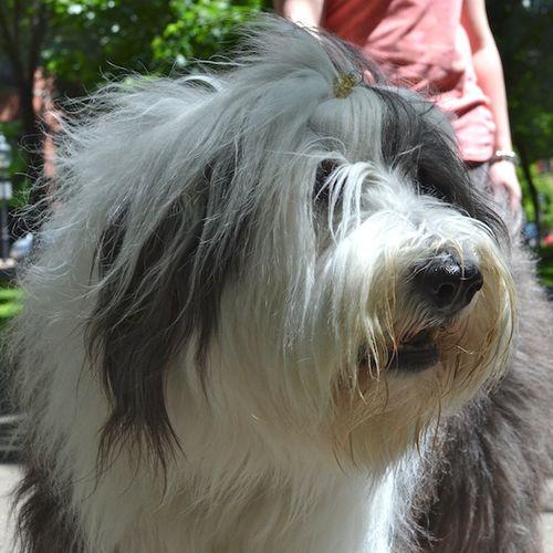 DSC_5320 - Version 22013-06-15-abbie-old-english-sheepdog-pawsh-boston-© 2011 Penny Cherubino