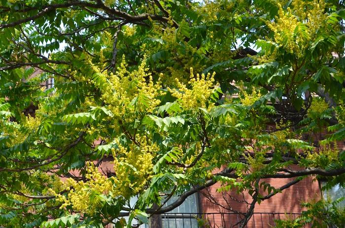 DSC_5760 - Version 22013-06-23-Ailanthus-altissima- stink-tree-boston-© 2011 Penny Cherubino