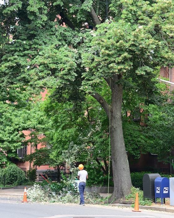 CHE_8376 - Version 22013-07-22-boston-beacon-street-tree-trimming-© 2011 Penny Cherubino