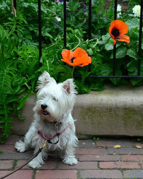 CHE_8007 - Version 22013-06-06-city-paws-poppy & poppies-© 2011 Penny Cherubino