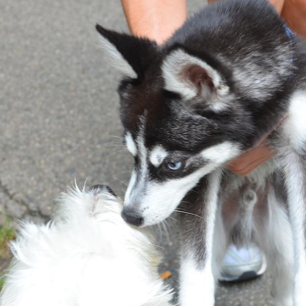 DSC_6594 - Version 22013-07-24-meesha-sunday dog-© 2011 Penny Cherubino