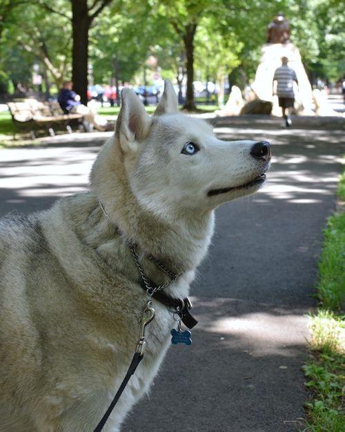 DSC_7127 - Version 22013-08-06-nika-huskey-blue-eyes-zen-girl-© 2011 Penny Cherubino