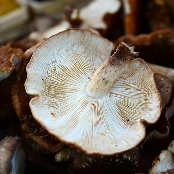 CHE_9460 - Version 22013-08-27-sienna-farm- mushrooms-© 2011 Penny Cherubino