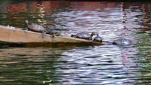 CHE_9706 - Version 32013-08-28-turtle-traffic jam-public-garden-boston-© 2011 Penny Cherubino