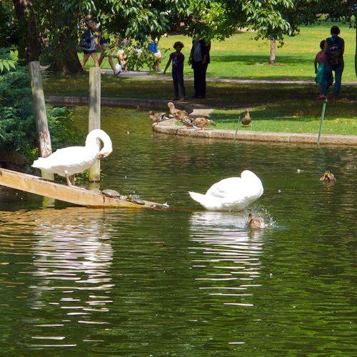 IMG_6753 - Version 22013-08-30-swans-turtles-ducks-© 2011 Penny Cherubino