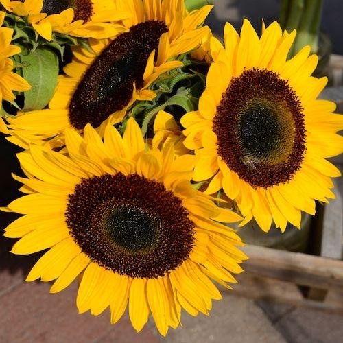 CHE_9579 - Version 22013-08-27-sunflower-copley-square-farmers-market-boston-© 2011 Penny Cherubino
