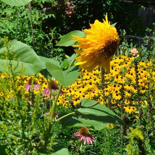 DSC_7222 - Version 22013-08-11-warrior-sunflower-south-end-boston-© 2011 Penny Cherubino