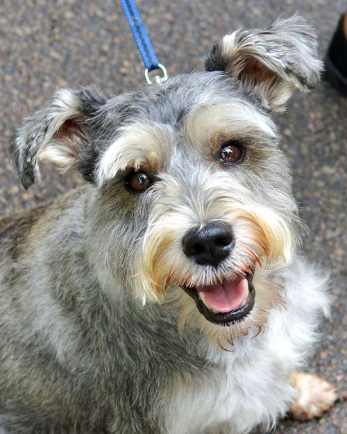 DSC_7977 - Version 22013-09-02-mini schnauzer-boomerang-therapy-dog-© 2011 Penny Cherubino