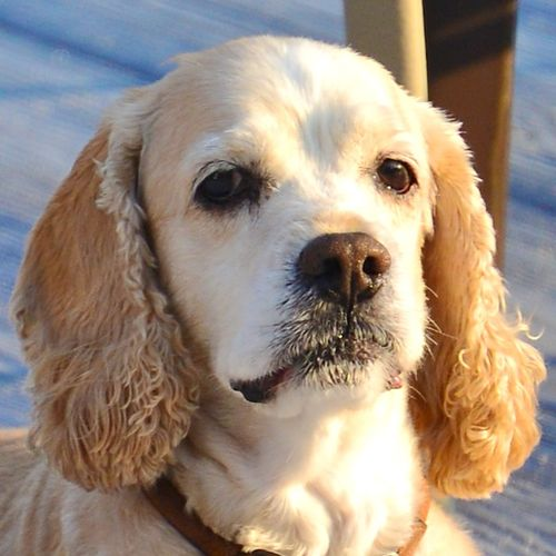 CHE_0155 - Version 22013-09-11-cocker-spaniel-barney-rubble-provincetown-© 2011 Penny Cherubino