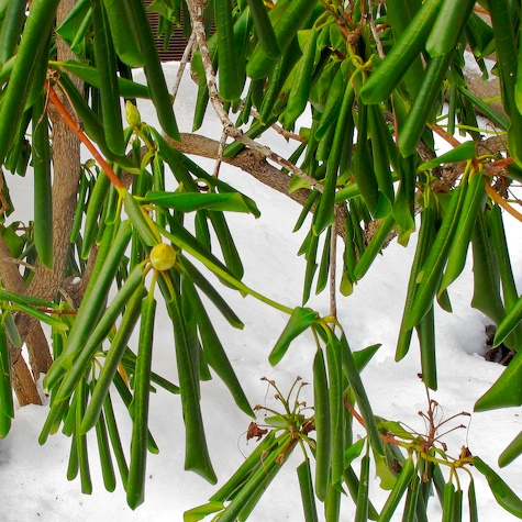- curled-rhodendrum-leaves-20-degrees-