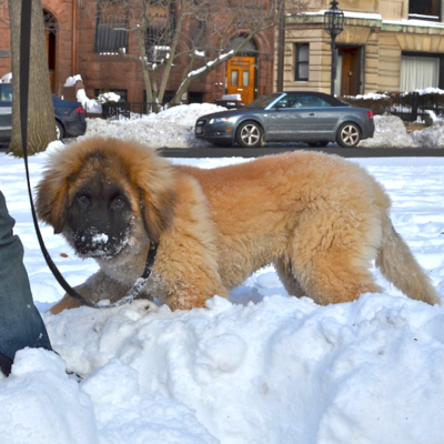 Sunday Dog, Rufus – One Big, Lovable Puppy! - BostonZest