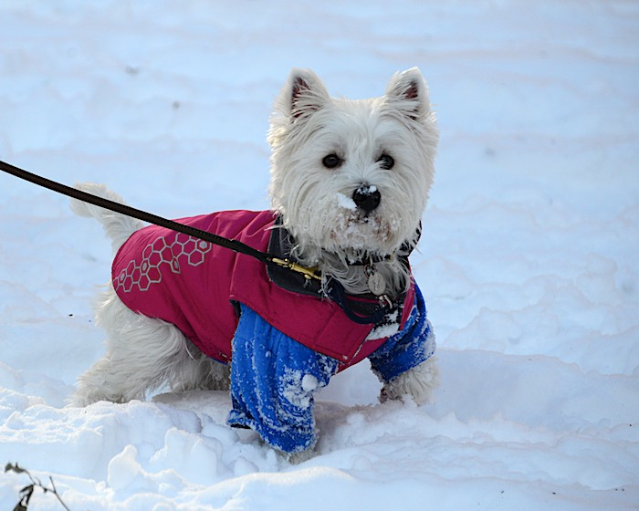 PC2_1572 - Version 22013-12-19Poppy-westie-playing-in-snow-© 2011 Penny Cherubino