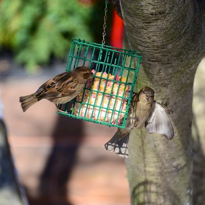 PC2_1481 - Version 22013-12-16-sparrows- feeder-suet-bakc-bay-boston-© 2011 Penny Cherubino
