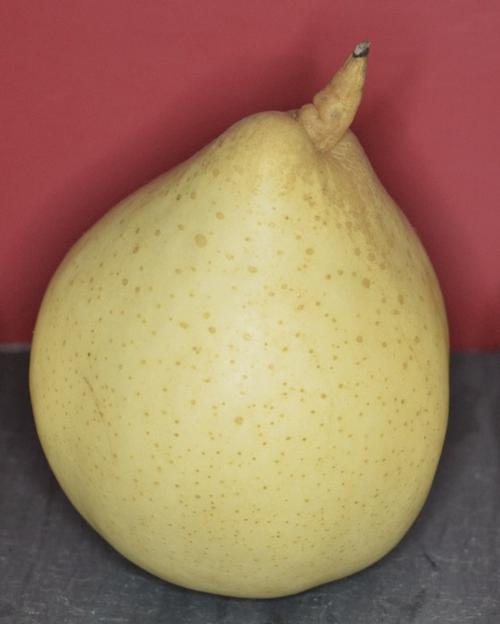 DSC_1108 - Version 22014-02-12-ya-pear-chinese-white-pear-© 2011 Penny Cherubino