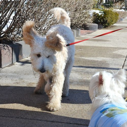 DSC_1229 - Version 22014-02-20-dog-bella-goldendoodle-poppy-westie-boots-© 2011 Penny Cherubino