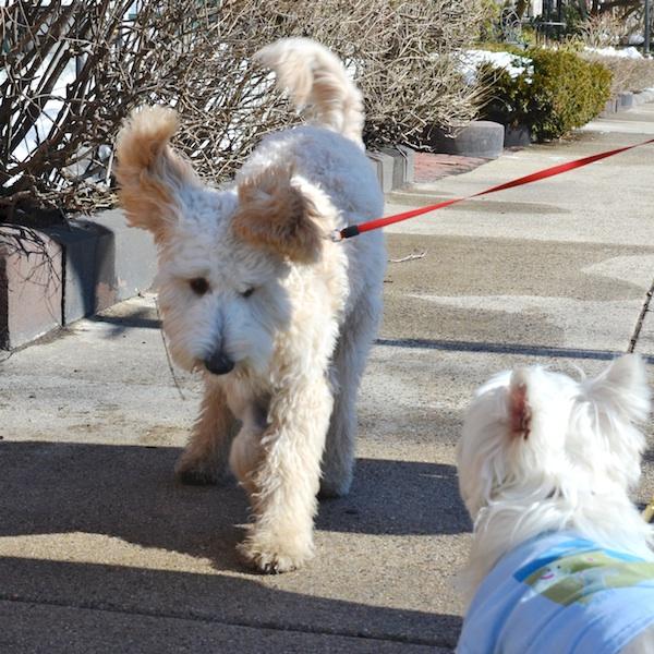 DSC_1229 - Version 22014-02-20-dog-bella-goldendoodle-poppy-westie-boots-© 2011 Penny Cherubino
