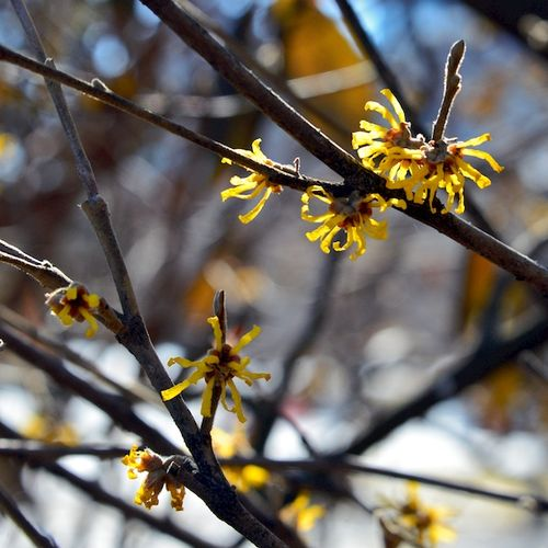 PC2_2287 - Version 22014-03-08Witch hazel, boston, public, garden, charles, street© 2011 Penny Cherubino