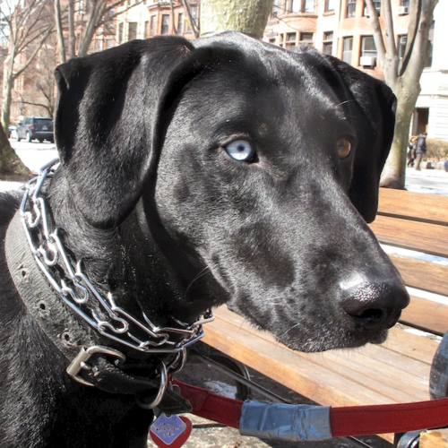 IMG_1313 - Version 22014-03-14-remi-black-dog-blue-eye-brown-eye-cute-© 2011 Penny Cherubino